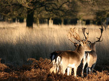 Richmond, Two deer at Richmond Park, London, Middlesex © Keven Law